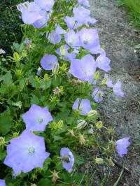 campanula carpatica blue clips