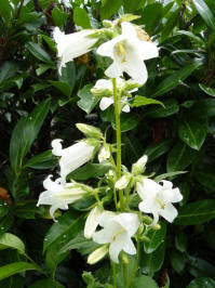 campanula latifolia Eriocarpa Blanche