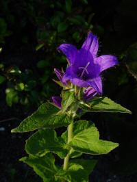 campanula latifolia eriocarpa