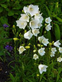 campanula persicifolia alba - perzikbladklokje