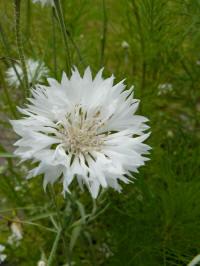 centaurea cyanus blanche