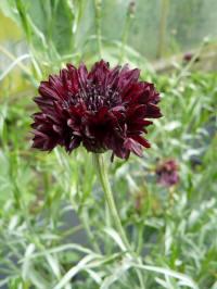 Centaurea cyanus black boy