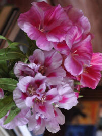 clarkia amoena mixed