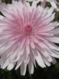 crepis rubra rosea