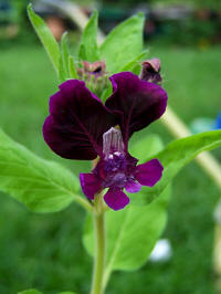 cuphea lanceolata purple