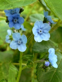 cynoglossum amabile blue shower