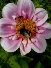 dahlia collerette halskraag roze