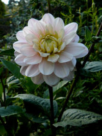 dahlia morning dew