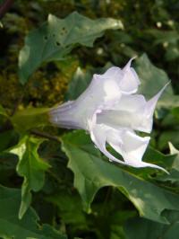 datura meteloides la fleur lilac doornappel