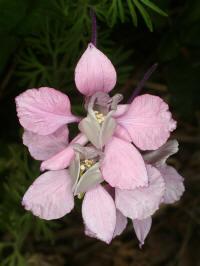 delphinium ajacis early bird mixed