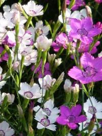 dianthus deltoides mixed