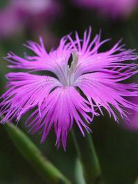 dianthus fringed pink prachtanjer