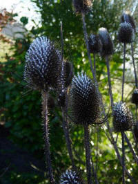 dipsacus sylvestris frosted