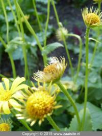 doronicum orientale little leo seeds