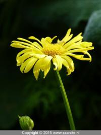 Doronicum orientale Magnificum