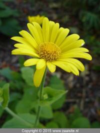 doronicum pardalianches goldstrauss - voorjaarszonnebloem