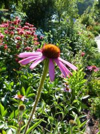 echinacea_angustifolia