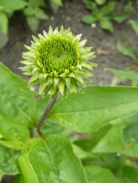 Echinacea uit Green Jewel