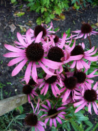 Echinacea uit Fatal Attraction
