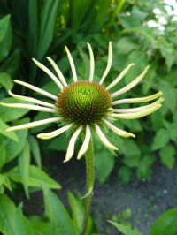 Echinacea uit Green Envy