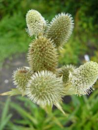 eryngium agavifolium kruisdistel