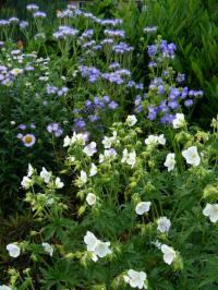 geranium pratense striatum splish splash
