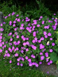 geranium sanguineum violette