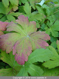 geranium cantabrigiense biokovo blad (leaves)