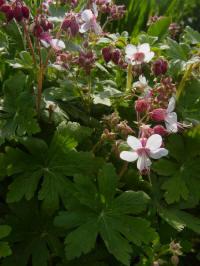 geranium macorrhizum spessart