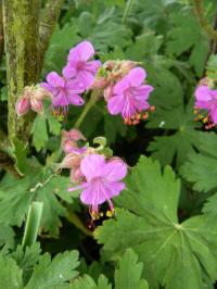 geranium macrorrhizum czakor