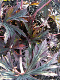 geranium pratense dark reiter album