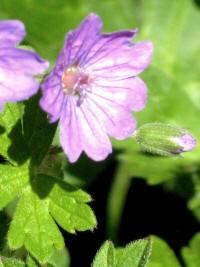 Geranium pyranaicum blue