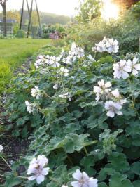 geranium renardii walther ingwertsen