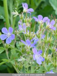 geranium sylvaticum mayflower - bosooievaarsbek