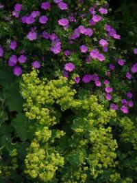geranium sanguineum violette en alchemilla mollis