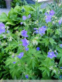 geranium sylvaticum mayflower
