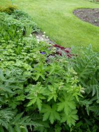 geranium sylvaticum - bosooievaarsbek (blad)