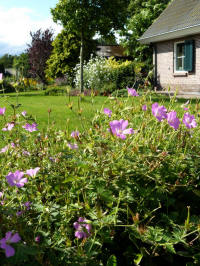 geranium x oxonianum claridge druce - ooievaarsbek