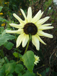 helianthus debilis sunny white