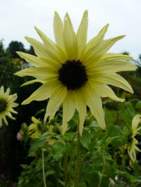 helianthus debilis sunny mixed, zonnebloem