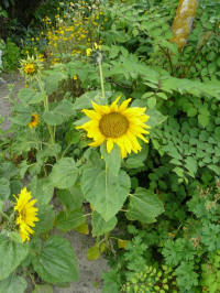 helianthus pacino gold