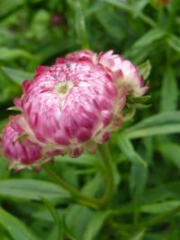 helichrysum bractaetum - strobloem