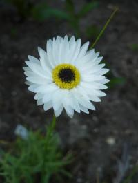 helipterum roseum pierrot