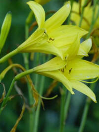 hemerocallis forsyth lemon drop