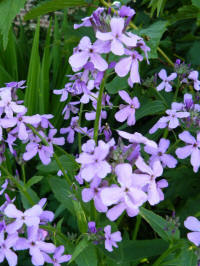 hesperis matronalis purpurea damastbloem