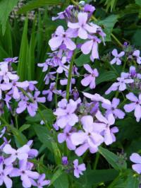 hesperis matronalis purpurea damastbloem