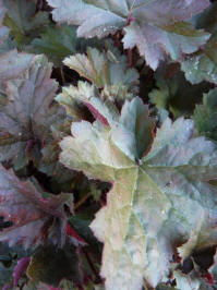 heuchera crispy curly
