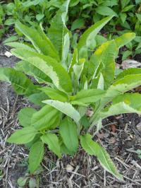 inula helenium blad