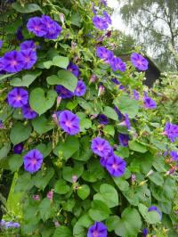 ipomoea purpurea kniola's black
