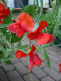 lathyrus odoratus royal red